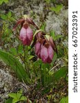 a trio of pink lady's slipper... | Shutterstock . vector #667023391