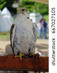 Small photo of Trained Gyrfalcon for falconry (Falco rustocolus)