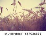 wheat field in summertime | Shutterstock . vector #667036891
