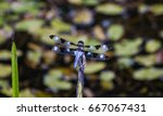 perched dragon fly dragon fly... | Shutterstock . vector #667067431