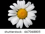 imperfect daisy top daisy top... | Shutterstock . vector #667068805