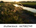 grass flower in morning light... | Shutterstock . vector #667082749