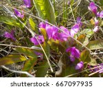 Small photo of an American Vetch blooming