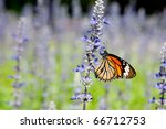 Monarch Butterfly On The...