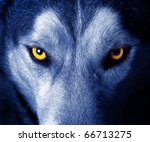 beautiful eyes of a wild wolf | Shutterstock . vector #66713275