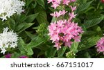 colorful flowers bloom in the... | Shutterstock . vector #667151017