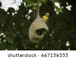 Baya Weaver With Next  Birds...