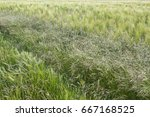 three different cereal crops...   Shutterstock . vector #667168525