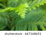 Norfolk Island Pine Focus One...