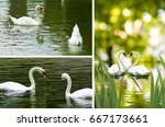 swans on the lake in the park... | Shutterstock . vector #667173661