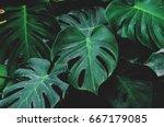 low key  leaves of monstera... | Shutterstock . vector #667179085