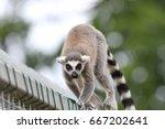 Ring Tailed Lemur Close Up ...