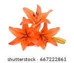 beautiful orange lily flowers isolated on white background