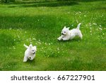 Stock photo white fluffy cheerful happy pretty puppies of maltese lapdogs are play running on a green lawn 667227901
