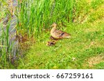 Wild Duck With Ducklings Sits...