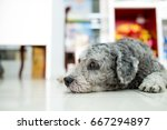 a sad dog is sleeping on the... | Shutterstock . vector #667294897