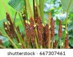 calathea lutea | Shutterstock . vector #667307461