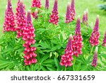 beautiful red flowers lupines... | Shutterstock . vector #667331659