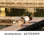Small photo of couple amicable wild ducks in the city decorative pond