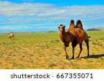 Bactrian camels  camelus...