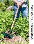 potato farming in local organic ...   Shutterstock . vector #667356859