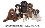 Stock photo a chihuahua in front of five big dogs isolated on a white background 66740776