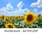 Sunflowers In Front Of The Blu...