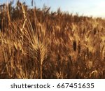 summer wheat field panorama. | Shutterstock . vector #667451635