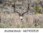 Mule Deer In Grass Meadow In...