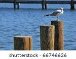 Ring Billed Gull  Larus...