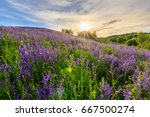 sunset on a hill covered with... | Shutterstock . vector #667500274
