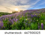 sunset on a hill covered with... | Shutterstock . vector #667500325