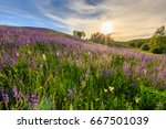 sunset on a hill covered with... | Shutterstock . vector #667501039