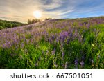 sunset on a hill covered with... | Shutterstock . vector #667501051