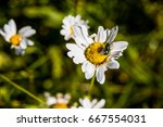 One White Daisy Chamomile...