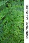 ferns | Shutterstock . vector #667558501