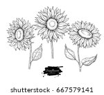 sunflower flower vector drawing ... | Shutterstock .eps vector #667579141