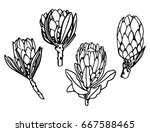 Protea Set Hand Drawn Sketch....