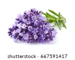 lavender flowers in closeup | Shutterstock . vector #667591417