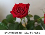 Small photo of Numerous cultivars have been produced, especially over the last two centuries, though roses have been known in the garden for millennia beforehand, Morning red rose, dew on a flower, green leaves