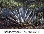 agave plant sunshine | Shutterstock . vector #667619611