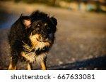 australian shepherd dog shaking ... | Shutterstock . vector #667633081