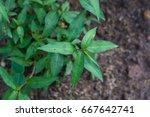vietnamese coriander vegetables ... | Shutterstock . vector #667642741