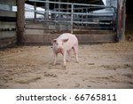Pig Inside Of A Enclosure