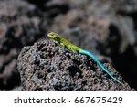Green Lizard On Lava Rocks ...