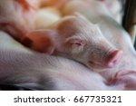 small piglet sleep in the farm. ... | Shutterstock . vector #667735321