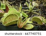 Small photo of Venus flytrap (binomial name: Dionaea muscipula) with lobes open to catch an insect or spider in greenhouse, for themes of sensitivity, reaction, and entrapment in nature