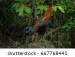 roster  chicken rooster in...   Shutterstock . vector #667768441