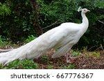 White Peacock Birds In Thailan...