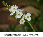 arrowhead flowers in a stem a... | Shutterstock . vector #667796395